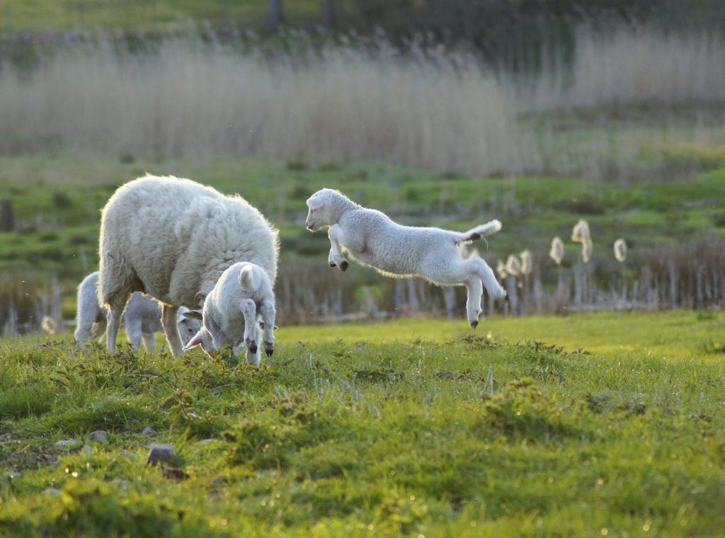 Schaf mit Lämmern, eines springt hoch