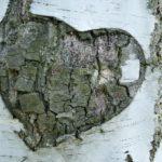 Birkenstamm mit Herz herausgeschnitzt