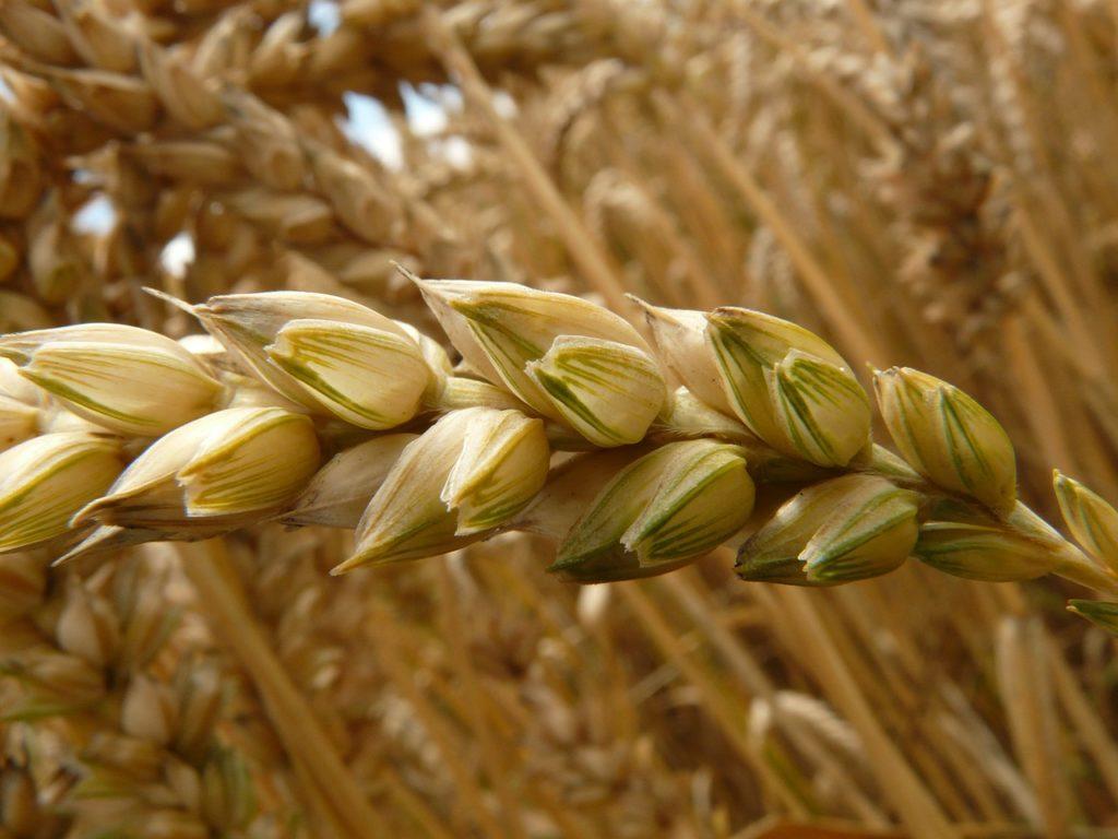 Getreideähre als Sinnbild der Jungfrau (Weizenähre)
